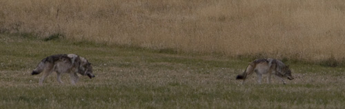 A pair of gray wolves just outside of Yellowstone National Park